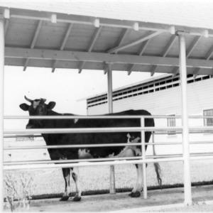 Cow in corridor, Clear Springs Dairy Farm near Concord, NC