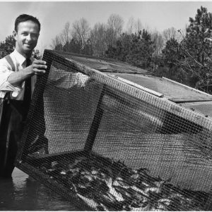 Dr. Eugene Hester lifts cage from pond containing 500 squirming catfish