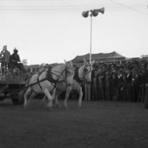 Mule Pulling Contest N.C. State Fair, 1938