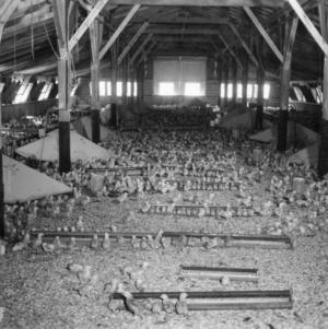 Chicks inside a broiler house