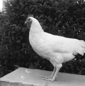 Chicken at State Fair, 1950