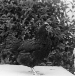 New Hampshire Chicken at State Fair, 1950
