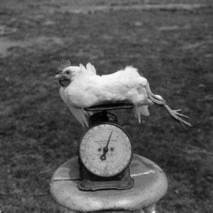 Chicken on Scale