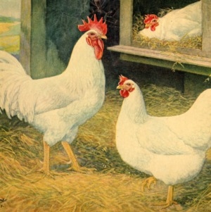 White Holland chickens painting