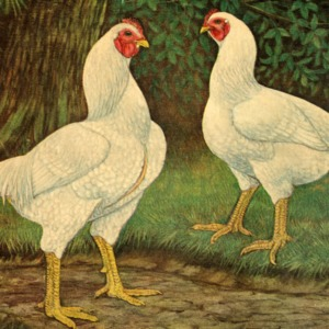 White Cornish chickens painting