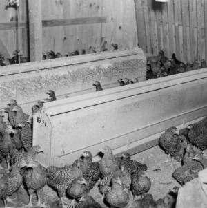 Broilers, Beaufort County, Self-feeders, Waterers