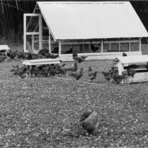 Chicken Feeders on Range