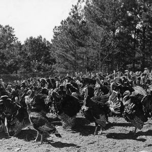 Anson County Turkey Farm