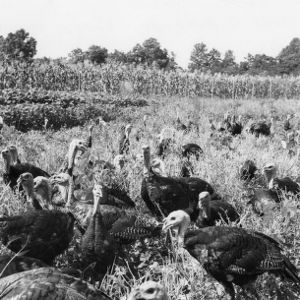 Turkeys in the Soybean