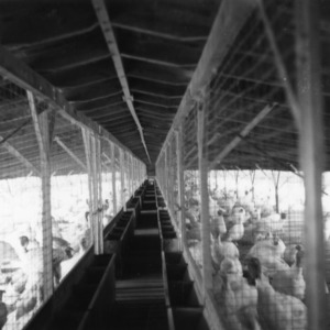 Alley in turkey confinement pen lined with feeders