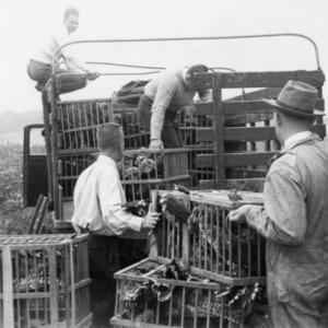 Agents loading turkey breaders onto truck