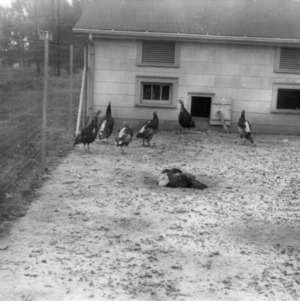 Breeding pen for turkeys at Central Experiment Station