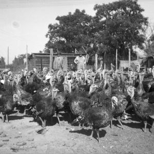 J.L. Stocks and Fountain Smith with turkeys