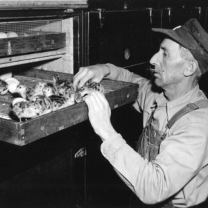 Mr. McConnell with turkey chicks in incubator