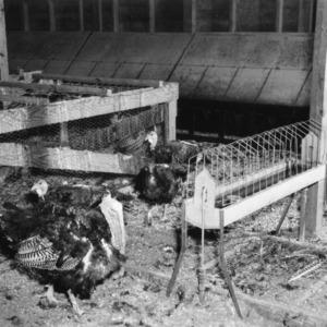 Interior of turkey breeder house