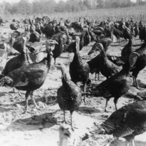 Turkeys harvesting soy beans