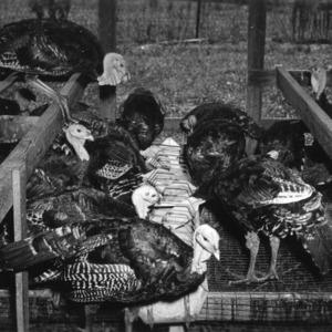 Turkeys eating at feeder
