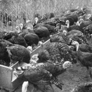 Turkeys eating in field