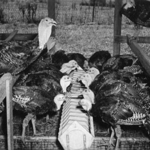 Turkeys in range shelter