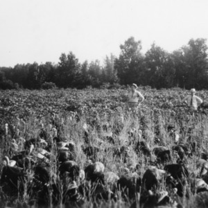 J. L. Tice, J. W. Cameron, and V. L. Norton with turkeys in soybean field