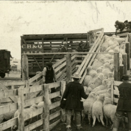 Sheep loaded onto train car