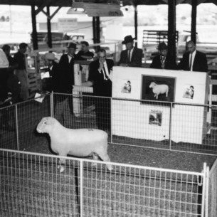 Sheep in pen at sheep judging competition