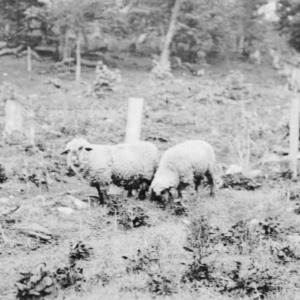 Purebred rams on sheep extension farm