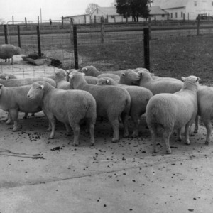 Sheep on experiment farm