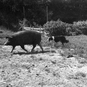 Border collies herding hog