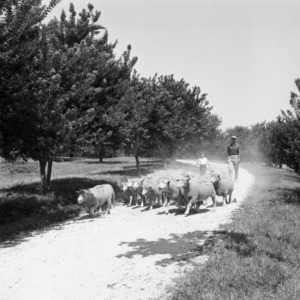 Man and boy herding sheep on William Poe's farm