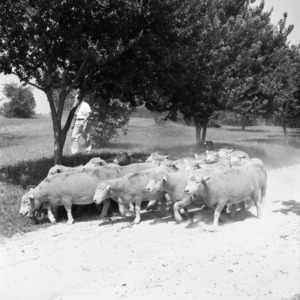 Sheep flock on William Poe's farm