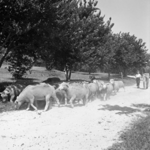 Herding sheep on William Poe's farm