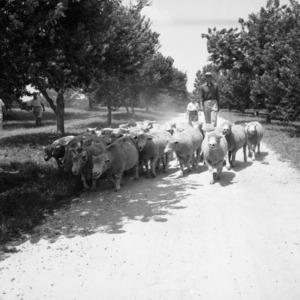 Herding flock of sheep on William Poe's farm