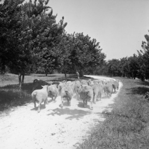 Herding flock of sheep on William Poe's farm