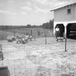Lambs on farm