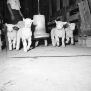 Lambs in barn
