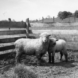 Ewe and lamb at Upper Mountain Experiment Station