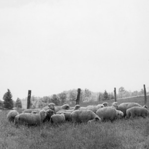 Flock of sheep on Upper Mountain Experiment Station