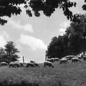 Ewes and early lambs at Upper Mountain Experiment Station
