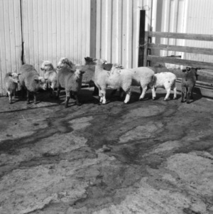 Crossbred blackbelly lambs