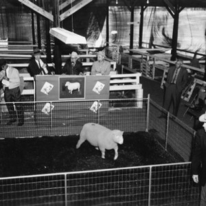 Polled Dorset Show and Sale