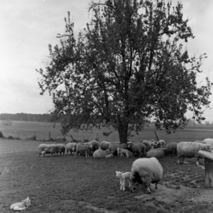Flock of Polled Dorset sheep on Addison Mills' farm