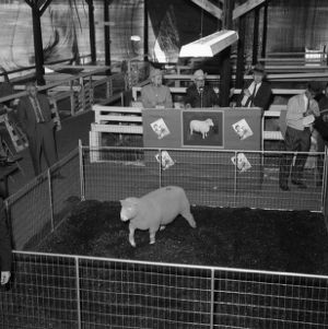 Champion Polled Dorset ram at the 1967 Ohio State Fair