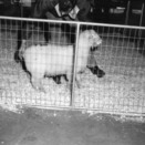 Sheep in pen before being exported to South Africa