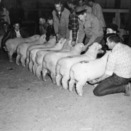 Sheep lined up before being exported to South Africa