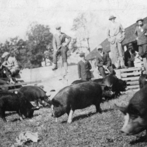 Men observing herd of pigs