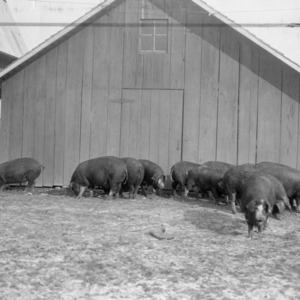Pigs in front of barn