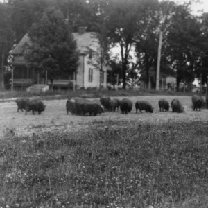 Herd of swine in front of farm house