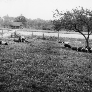 Swine and piglets grazing in field