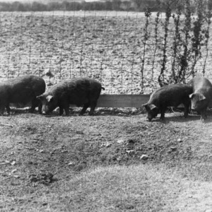 Piglets from Central Test Farm